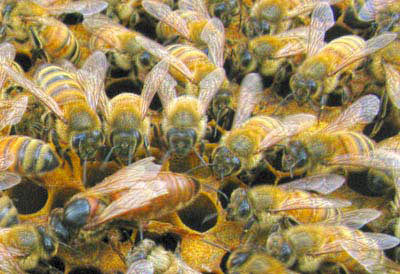 SolNectar_Honey_Bees_Bee_Queen_Hive_Swarm_Removal_Utah